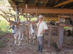 Eduardo and his oxen in his trapiche